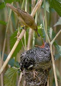 (Iturria: Wikipedia): El truco del Cuco: el astuto cuco pone su huevo en el nido del pájaro más pequeño, y éste lo cría como si fuera propio... (Iturria: Wikipedia)